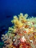 нежность коралла золотистая стоковое изображение rf