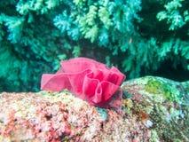нежность коралла красная Стоковое Фото