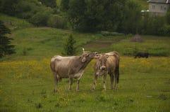 Нежность коровы в высокогорном луге Стоковая Фотография RF