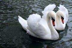 нежность лебедя Стоковое Фото