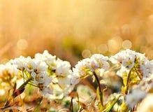 Нежность сфокусировала на белых цветках зацветает на предпосылке запачканной конспектом в обширном поле цветка Стоковые Изображения RF