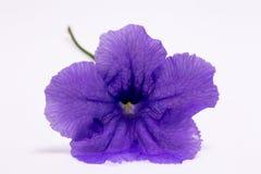 нежность цветка пурпуровая Стоковая Фотография