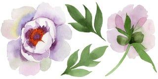 Нежно розовые пионы Флористический ботанический цветок Одичалый изолированный wildflower лист весны иллюстрация вектора