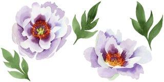 Нежно розовые пионы Флористический ботанический цветок Одичалый изолированный wildflower лист весны бесплатная иллюстрация