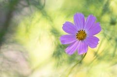Нежно розовый цветок космос зеленый цвет предпосылки красивейший Стоковые Изображения