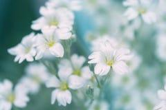 Нежные белые цветки на голубой предпосылке Цветки Cerastium в саде Стоковые Фото