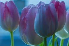 Нежные розовые тюльпаны в раннем утре стоковые изображения