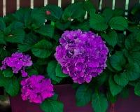 Нежные розовые цветки гортензии Стоковые Фото