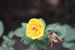 Нежные розы в китайском саде стоковая фотография rf