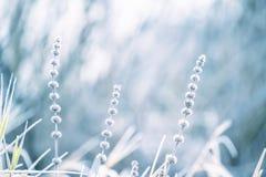 Нежные сухие цветки покрыли с белым пушистым цветком изморози a красивым нежным в заморозке нежность первого заморозка селективну Стоковые Фото