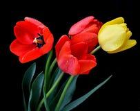 нежные тюльпаны Стоковая Фотография