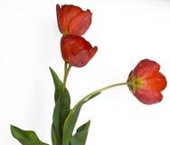Нежные цветки весны - красные тюльпаны Стоковая Фотография RF