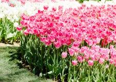 Нежные цветки тюльпана Поле вполне розовых и белых тюльпанов Стоковая Фотография