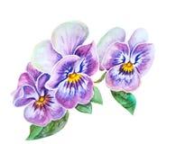 Нежные цветки pansies Стоковое Изображение RF
