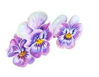 Нежные цветки pansies Стоковая Фотография