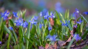 Нежные цветки snowdrops в лесе сток-видео