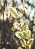 Нежные blossoming бутоны вербы Лужок весны Стоковое фото RF