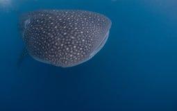 нежный гигантский кит акулы Стоковая Фотография
