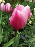 Нежный розовый тюльпан с водой падает на ее стоковые изображения rf
