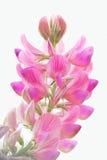 Нежный, розовый цветок поля Стоковое Изображение RF