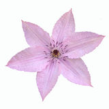 Нежный розовый цветок clematis изолированный на белой предпосылке Стоковая Фотография