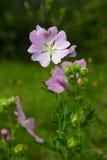 Нежный розовый цветок (lavatera Thuringian) Стоковая Фотография RF