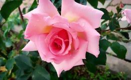 Нежный свет - предпосылка розы пинка стоковые изображения