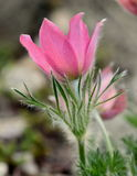 Нежный цветок весны - pulsatilla Стоковое Фото