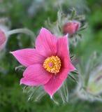 Нежный цветок весны - pulsatilla Стоковые Изображения