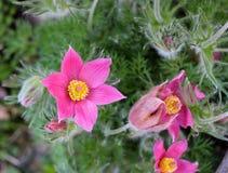 Нежный цветок весны - pulsatilla Стоковые Фото