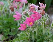 Нежный цветок весны - pulsatilla Стоковые Изображения RF