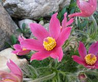 Нежный цветок весны - pulsatilla Стоковая Фотография