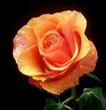 Нежный цветок розы апельсина после дождя Стоковая Фотография