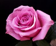 Нежный цветок розы пинка после дождя Стоковые Изображения