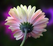 Нежный gerbera Стоковая Фотография RF