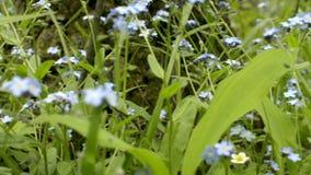 Незабудка цветет с зелеными листьями в парке города Зацветая одичалая свежая трава Wildflower Myosotis сток-видео
