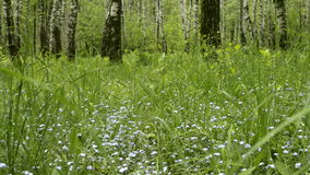 Незабудка цветет с зелеными листьями в парке города Зацветая одичалая свежая трава Wildflower Myosotis акции видеоматериалы
