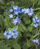 Незабудки, avensis Myosotis цветя в саде Великобритании Стоковые Фото
