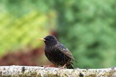 Незапятнанный Sturnus Starling vulgaris Стоковое Изображение