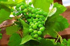 незрелое виноградины зеленое Стоковые Изображения RF