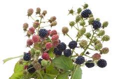 незрелое сада ежевики ягод зрелое Стоковое Изображение