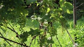 Незрелые виноградины вина двигая в ветер сток-видео