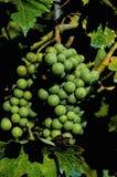 незрелые пуки виноградины Стоковая Фотография RF