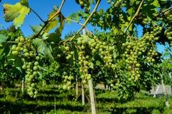 незрелые пуки виноградины Стоковые Изображения