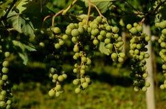 незрелые пуки виноградины Стоковая Фотография
