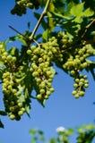 незрелые пуки виноградины Стоковые Фотографии RF