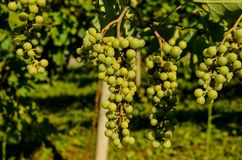 незрелые пуки виноградины Стоковые Изображения RF