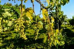 незрелые пуки виноградины Стоковые Фото