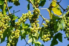 незрелые пуки виноградины Стоковое Изображение