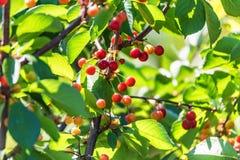 Незрелые ягоды вишни на ветвях avium сливы Стоковая Фотография